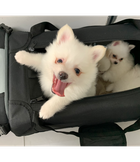 WHITE GERMAN SPITZ PUPPIES
