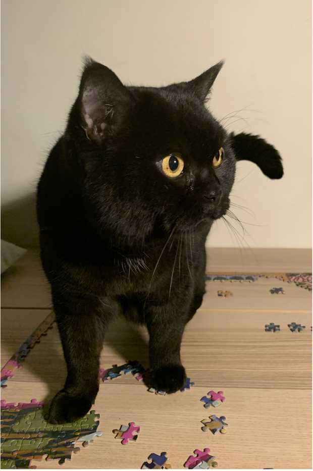 Responds to Monster Black shorthair cat, lost near Rundle St, Adelaide, can be timid.