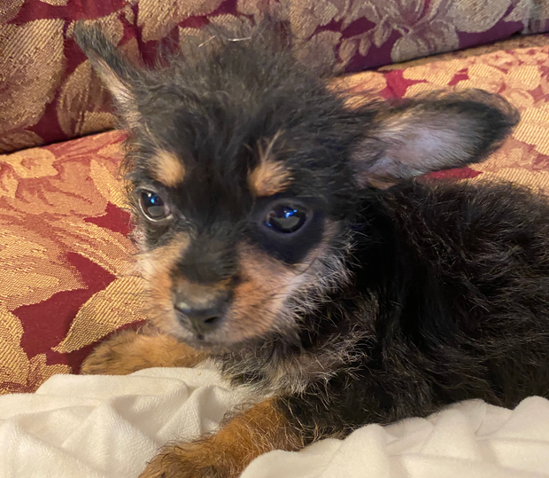 Maltese x chihuahua puppiesBeautiful quite natured. Male and females ready to go now, great Christmas...