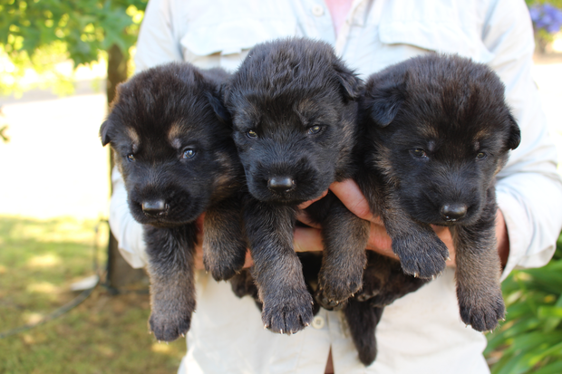We have purebred male and female German Shepherd puppies for sale. Ready to be rehomed Feb 17th when...