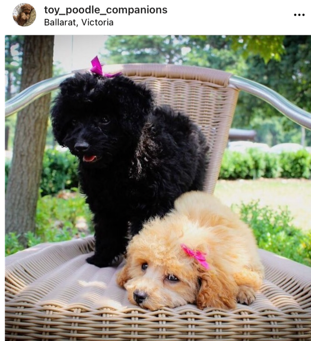 These quality puppies are bred from lovely small, purebred Toy Poodle parents who are well mannered...