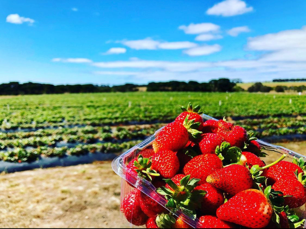 Share farm opportunity available for a 'pick your own' strawberry farm, situated on the Surf Coast...