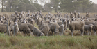 Meningie East - Folly Fam Land Aggregation - 1886.4 Ha or 4661.3 Acres Warm Reliable Grazing Country