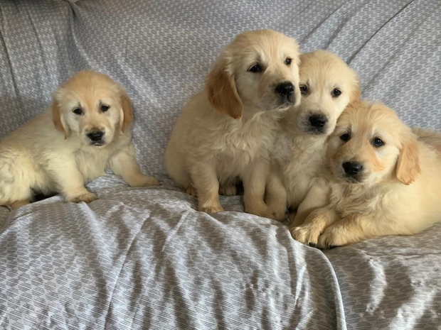 Whatsapp me for more info +61480023799Golden Retriever males and females available.Raised in our home...