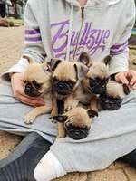 Pug x french bulldog 2 males, 3 females. Born 4/4/21.Ready nowMicrochiped, wormed, vaccinated & vet...