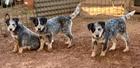 PURE BRED AUSTRALIAN CATTLE  DOG PUPS