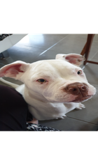 16 WEEK OLD PUPPY AMERICAN STAFFORDSHIRE TERRIER WITH DNA CERTIFICATE