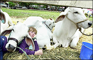 CATTLE NAP: Kimberly Rice, 15, from Woodenbong Central School, found an unusual place to rest with the school?s bovine entries.