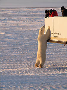 KITCHEN OPEN? An inquisitive polar bear takes a close up look at a Tundra Buggy and its occupants.