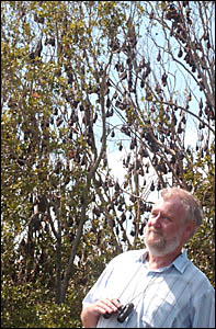 HERE TO STAY: President of Valley Watch Peter Wrightson looks over the colony of bats settled at Iluka.