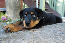 Cujo the crossbred pup was badly neglected but has since recovered.