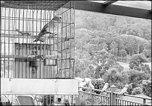 Cocky the galah and his wild friends seemed like they were just having their regular innocent morning chat, when in fact they w