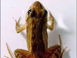 The Wallum Froglet.