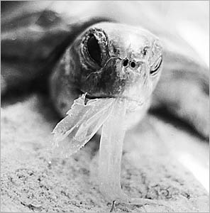 littered plastics and fishing line and nets have a devastating impact on our marine life.