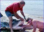 Large tiger shark caught at Tannum