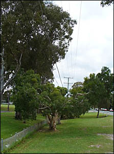 TREE LOPPING: A recently pruned tree under power and pay-TV lines at Throwers Drive, near the sports oval at Palm Beach/Currumb