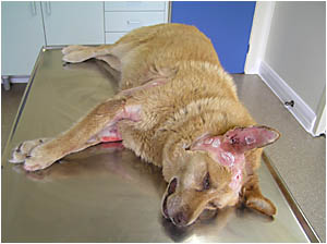 ATTACKED:Tosh is one of a few dogs which have been attacked by other dogs in the Clarence Valley lately. She was mauled in her