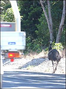 SLOW DOWN: Cars pass an emu near Iluka.