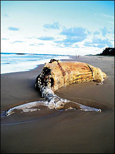 The body of a young humpback whale has washed up on the north end of Surf Beach, Nambucca Heads.