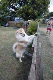 Sano keeps guard while Graeme and Kay Kemp (with Shinta) garden.