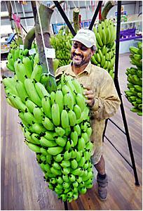 Woolgoolga banana grower and banana section steward Mal Husna with his 62.27kg bunch of bananas at Coffs Harbour Show.