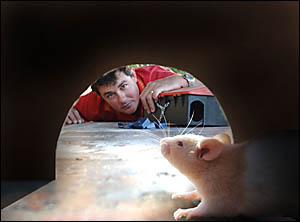 RATS!: A rat looks out of its home as Clarence Valley Pest Control?s Simon Gallagher readies a trap.