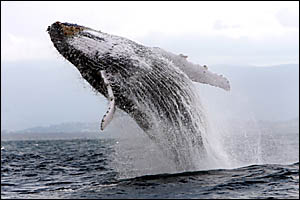 Migaloo, a rare albino whale, breaches as he moves up the North Coast with a pod of humpbacks.