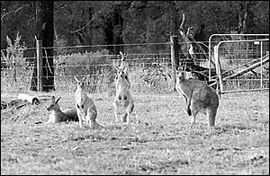 This mob of kangaroos, at Avocado Heights, lives in close proximity to houses, prompting the National Parks and Wildlife Servic