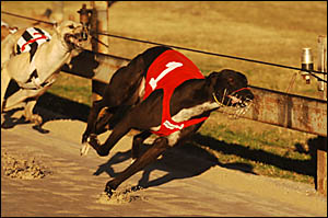 Hey Ray wins race nine at the Grafton track on Saturday, the opening day of the Grafton Greyhound Racing Club?s July carnival.