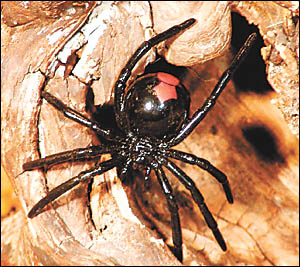 Bites from the redback spider can be dangerous and even fatal if not treated properly. Treatment should include the application