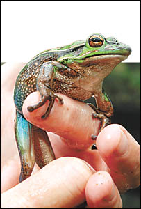 Frog enthusiast Peter Johnson has a hand in keeping our planet green. Later this week he will release 5000 highly endangered fr