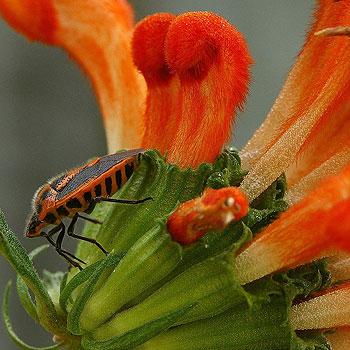 A horehound bug, or Agonoscelis rutila, photographed by Tewantin creepy-crawly enthusiast Nick Monaghan.