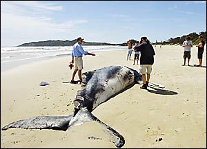 Marine Parks Authority officials inspect the dead humpback at Belongil Beach.