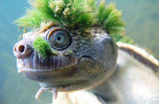 Mary River Turtle. Photo: Chris van Wyk, www.flickr.com/photos/chrisvanwyksadventures/