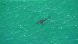 SIGHTING: The shark spotted off Byron Bay yesterday.
