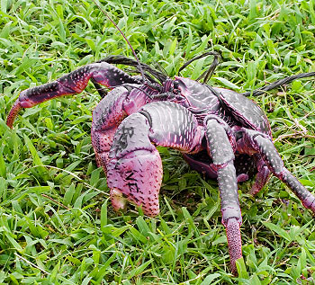 The Coconut Crab: On display at Underwater World.