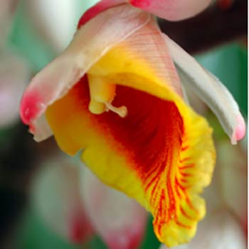 The Ginger Flower Festival is on at the Ginger Factory Yandina, January 24-27.