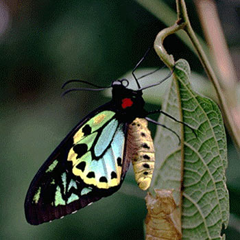 The birdwing butterfly could become the emblem for the new Sunshine Coast council.