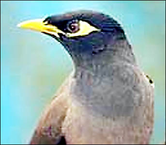 Indian myna birds are capable of evicting larger and more aggressive native birds from their nests.