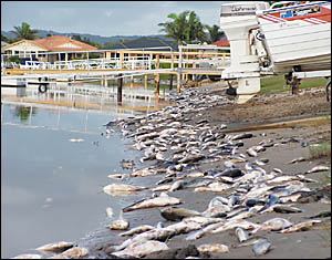 Ballina businesses are the latest victims of the fish kill that has forced the closure of the Richmond River to all fishing.