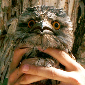 The Tawny Frogmouth along with the Ibis and Magpies are being entagled in fishing line or involved in car accidents.