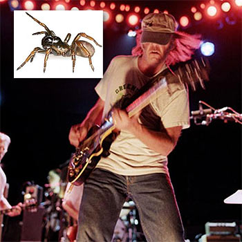 Next time you squash a spider, beware: you may just have stepped on Neil Young.  Photo: myspace.com and (inset) ECU news