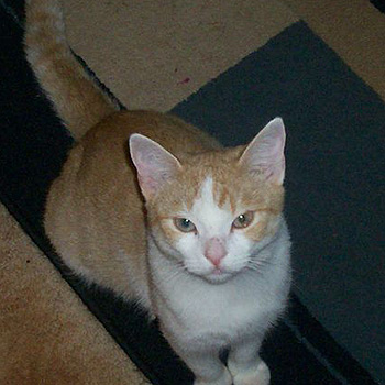 Diego, a one-year-old male ginger and white cat, is the 4 Paws Animal Rescue pet of the month.