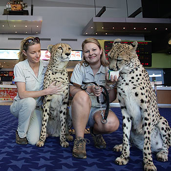 Australia Zoo big cat handlers Danielle Black and Nat Evans with Sheba and Fox Trot the cheetahs at Birch Carroll and Coyle Maroochydore. The spotted duo will be the special guests of a charity screening of Kung Fu Panda later this month. Photo: Cade Mooney/175402