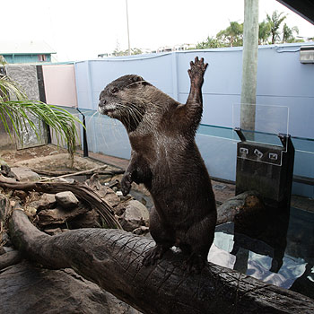 Two of UnderWater World's otters are going to New Zealand on a breeding holiday. Photo: Cade Mooney/175537