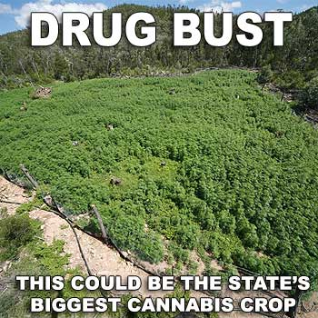 This is believed to be one of the largest cannabis plantations uncovered in Queensland. Photo: Queensland Police Service