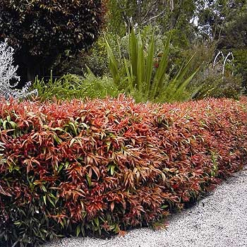 Callistemon Great Balls of Fire makes a great hedge.