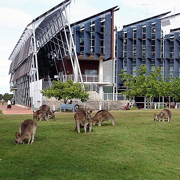 Kangaroos are a familiar sight at the University of the Sunshine Coast. Photo: Terry Walsh