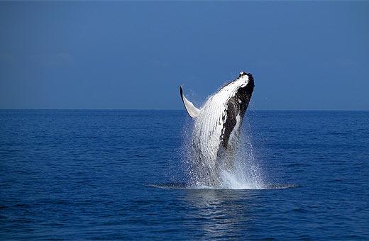 Humpback Whales, Hervey bay, Queensland, Australia. Photo: Chris McLennan
