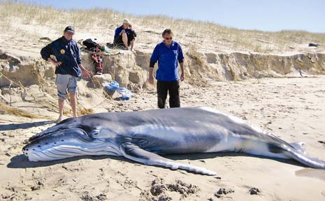 The humpback whale calf washed up on Patchs beach.